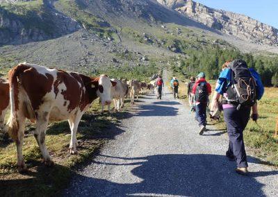 Scouts vs Cows