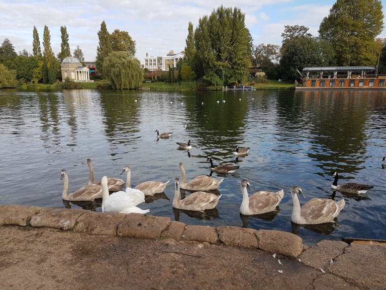 Swan family near Sadlers Ride car park, with Garrick's Villa, Garrick's Temple to Shakespeare and Fred Karno's boat Aurora