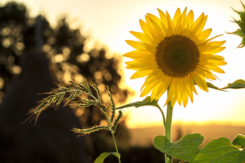 Children's Sunflower Competition – Weybridge In Bloom & Churchfields Allotments