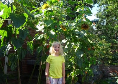 Alice's Weybridge sunflowers - Competition Winner