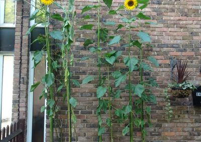Emily's sunflower - Weybidge In Bloom and Allotment competition winner