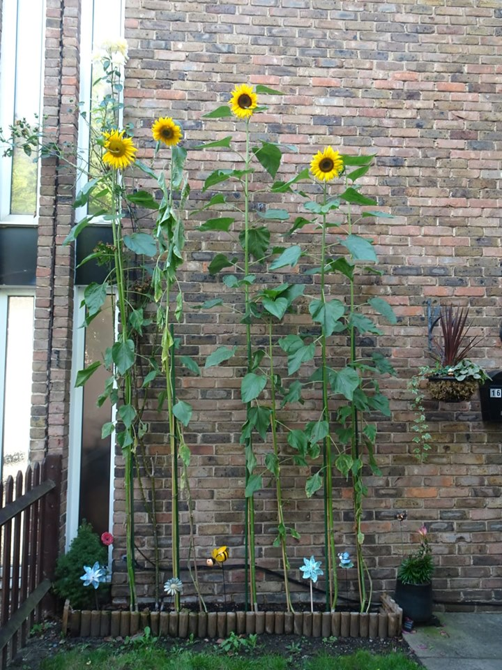 Emily Oreto from St James School - winner of Weybridge Sunflower Competition - Weybridge In Bloom and Allotments Association