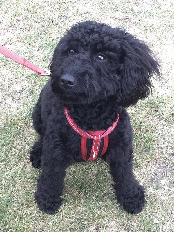 Puppies Socialisation and Dog Walking - Walton Hersham Weybridge and Esher