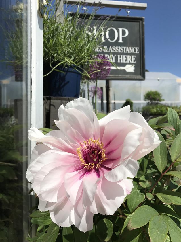 Shop at Clifton Nurseries - Garden Centre near St Georges College Weybridge