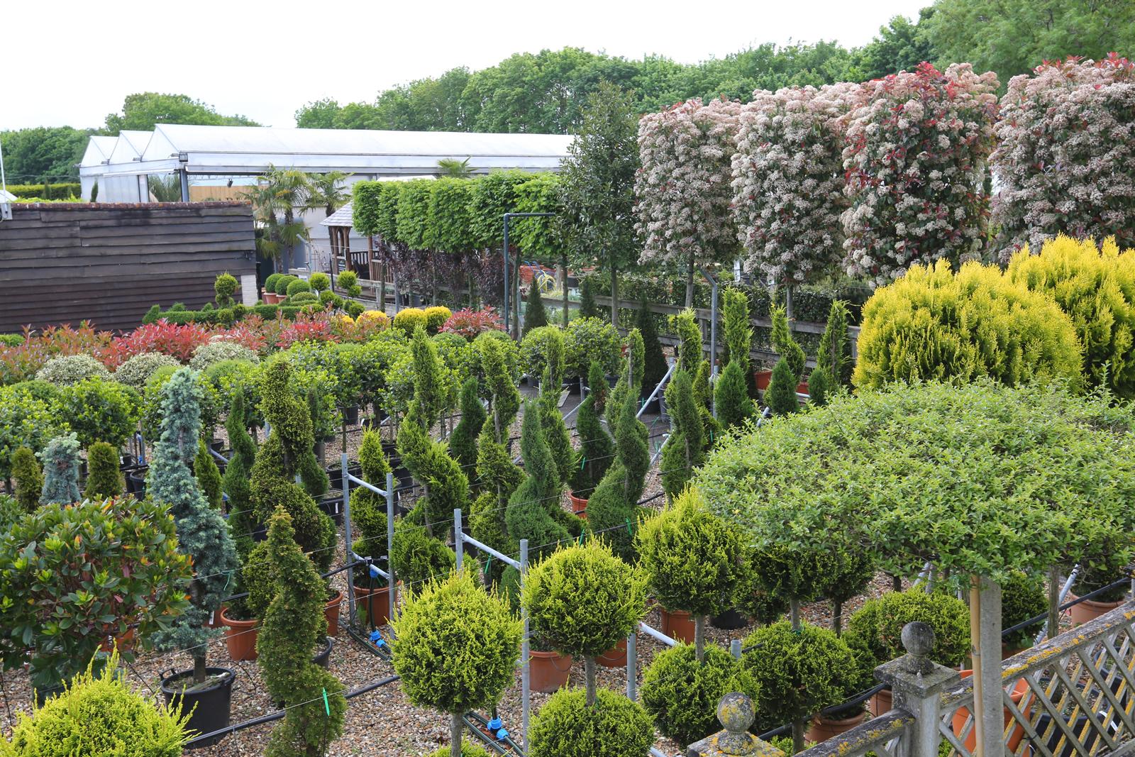 Specimen plants at Clifton Nurseries - Addlestone Weybridge Garden Centre