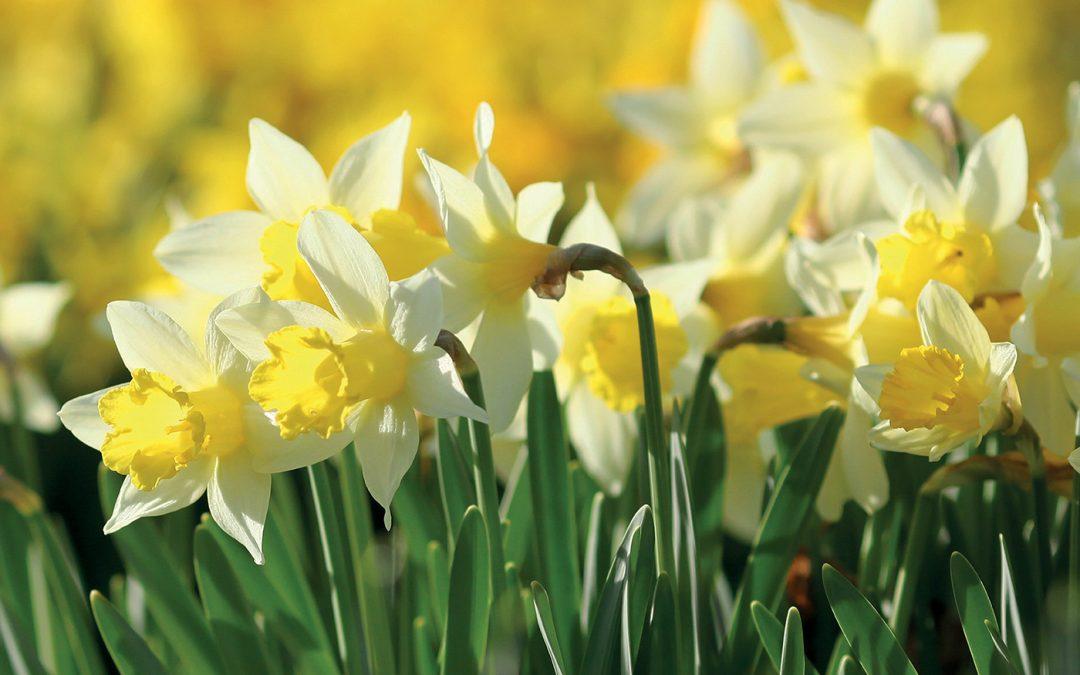 Step Into Spring Event – Big Savings at Clifton Nurseries Addlestone / Weybridge