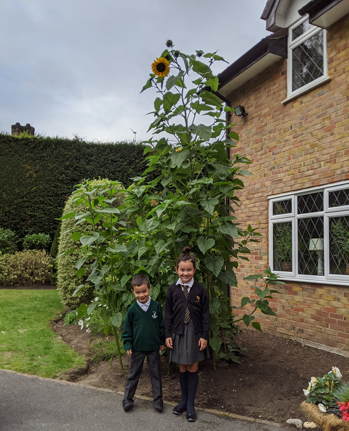 Weybridge Allotments - Sunflower Growing Competition